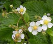 Walderdbeere Verbesserte Rügen - Fragaria vesca semperflorens