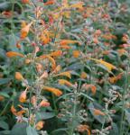 Duftnessel Sunset Tango - Agastache aurantiaca