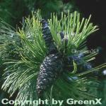 Schlangenhautkiefer Panzerkiefer 80-100cm - Pinus heldreichii