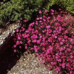 Heidennelke Splendens - Dianthus deltoides