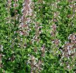 Katzenminze Dawn to Dusk - Nepeta grandiflora