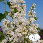 Edelflieder Schneekönigin - Kircher-Collection 80-100cm - Syringa vulgaris