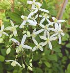 Clematis Mandshurica 60-80cm - Clematis mandshurica