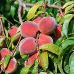 Pfirsich Red Haven 60-80cm - Prunus persica