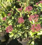 Mittelmeer Schneeball Gwenllian 30-40cm - Viburnum tinus