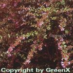 Abelia Edward Goucher 30-40cm - Abelia grandiflora