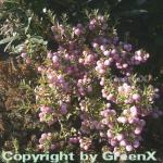 Torfmyrthe rosa Beeren - Pernettya mucronata