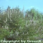 Mönchspfeffer 60-80cm - Vitex agnus castus