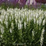 Wiesen Salbei Swan Lake - Salvia pratensis
