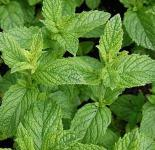 Grüne Minze Maroccan - Mentha spicata