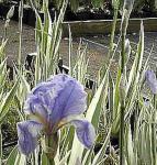 Bleiche Schwertlilie Variegata - Iris pallida
