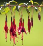 Fuchsie Tenella - Fuchsia magellanica