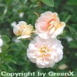 Hochstamm Rose Sangerhäuser Jubiläumsrose 40-60cm