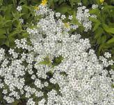 Hornkraut Silberteppich - Cerastium tomentosum
