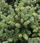 Steineibe Blaze 25-30cm - Podocarpus alpinus
