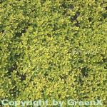 Zitronenthymian Golden Dwarf - Thymus citriodorus