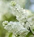 Edelflieder Beauty of Moscow 40-60cm - Syringa vulgaris