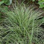 Bergsegge Raureif - Carex montana