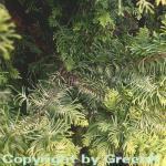 Zwerg Hinoki Scheinzypresse 10-15cm - Chamaecyparis obtusa
