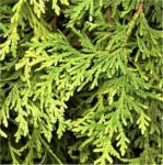 Zwerg Lebensbaum Stolwijk 30-40cm - Thuja occidentalis