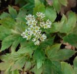 Ahornblatt Karasuba - Mukdenia rossii