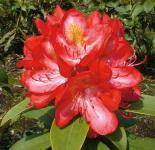 INKARHO - Großblumige Rhododendron Junifeuer 30-40cm - Alpenrose