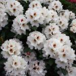 Rhododendron Bohlkens Snow Fire® 25-30cm - Rhododendron williamsianum