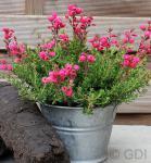 10x Irische Heide Amelie - Daboecia cantabrica