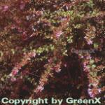 Abelia Edward Goucher 40-60cm - Abelia grandiflora