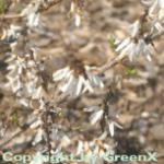 Schneeforsythie Roseum 80-100cm - Abeliophyllum distichum