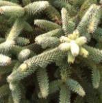 Gelbe spanische Tanne 15-20cm - Abies pinsapo