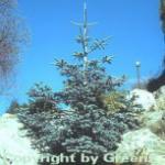 Blaue Edeltanne 125-150cm - Abies procera