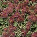 Stachelnüßchen Frikart - Acaena caesiiglauca