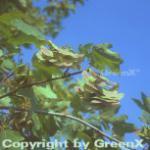 Feldahorn 125-150cm - Acer campestre