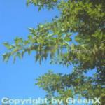 Roter Schlangenhaut Ahorn Antonie 125-150cm - Acer capillipes