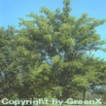 Roter Schlangenhaut Ahorn 100-125cm - Acer capillipes