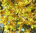 Kolchische Gold Ahorn 100-125cm - Acer cappadocicum Aureum