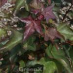 Kolchischer Blutahorn 125-150cm - Acer cappadocicum Rubrum