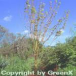 Streifenahorn Phoenix 125-150cm - Acer conspicuum