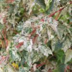Streifenahorn Silver Cardinal 100-125cm - Acer conspicuum