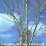 Davids Ahorn Grosseri 125-150cm - Acer davidii