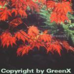 Japanischer Feuerahorn 100-125cm - Acer japonica Aconitifolium