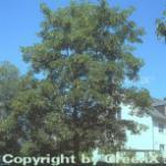 Oregon Ahorn 100-125cm - Acer macrophyllum