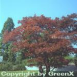 Roter Fächerahorn 100-125cm - Acer palmatum Atropurpureum