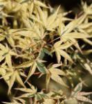 Fächerahorn Beni-shishi-henge 40-60cm - Acer palmatum