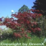Roter Fächerahorn Bloodgood 100-125cm - Acer palmatum