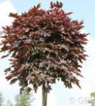 Fächer Ahorn Crimson Sentry 100-125cm - Acer palmatum