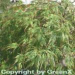 Grüner Schlitz Ahorn 40-50cm - Acer palmatum