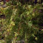 Fächerahorn Emerald Lace 40-50cm - Acer palmatum
