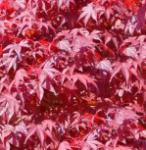 Fächerahorn Fireglow 60-80cm - Acer palmatum